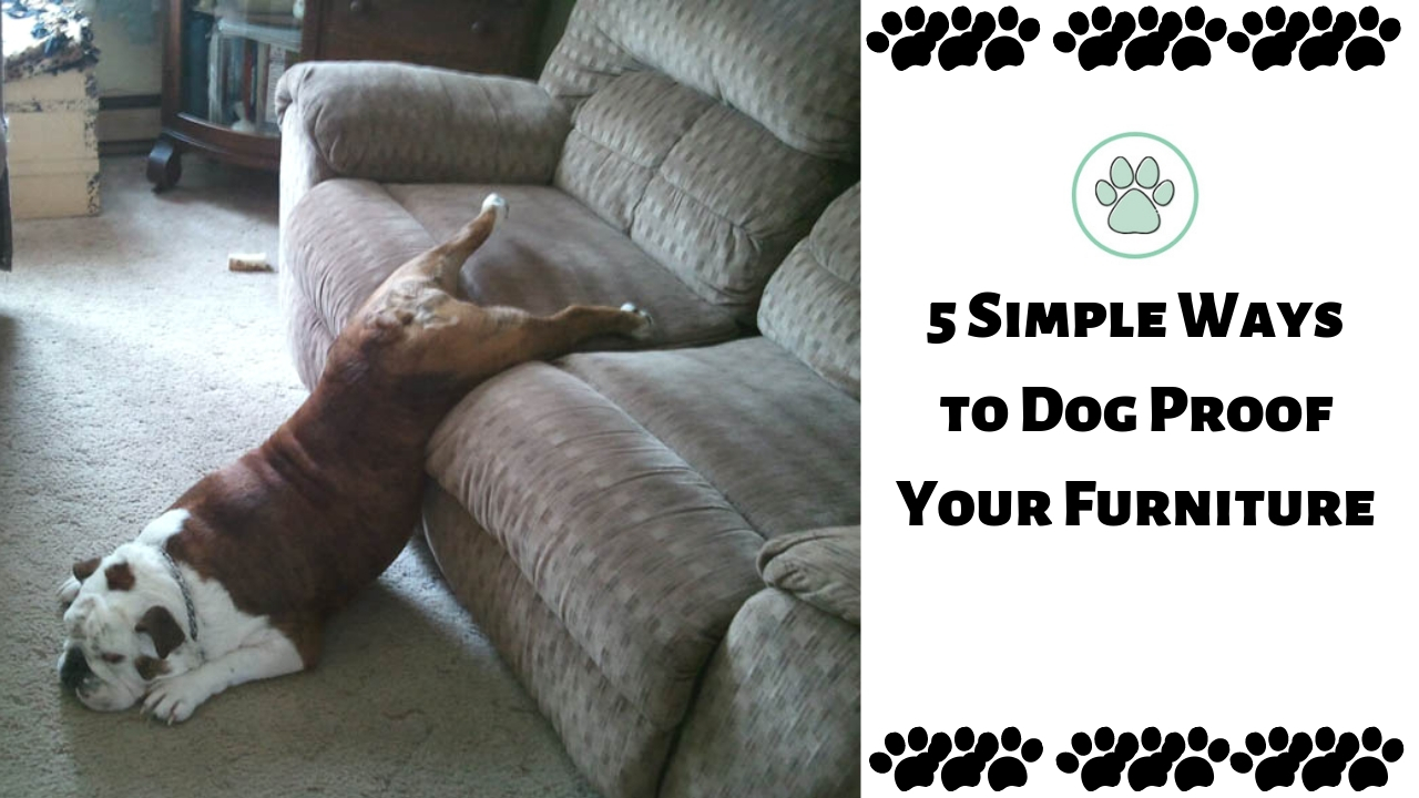 5 Simple Ways to Dog Proof Your Furniture | Brain Training Dogs   Do you allow your dog on the furniture? Do you end up always getting dog hair and attempting to keep things flawless and clean? For specific breeds it's an endless assignment; I feel for those of you Husky proprietors, I truly do. Also, recollect that mishaps occur, so keep a container of Nature's Miracle close by, this stuff is a lifeline for any pet proprietor.